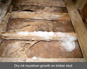 Dry rot mycelium growth on timber stud - NI - N Ireland - Northern Ireland - England - Scotland - wales - Dry Rot