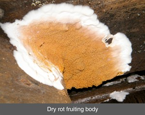 dry rot, fruiting body, decay, wet rot, timbe splice repair, damp timber, truss, wood, belfast, dublin, northern ireland, ni